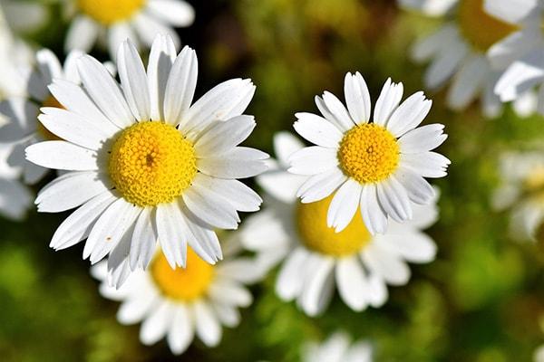 黄色と白のお花