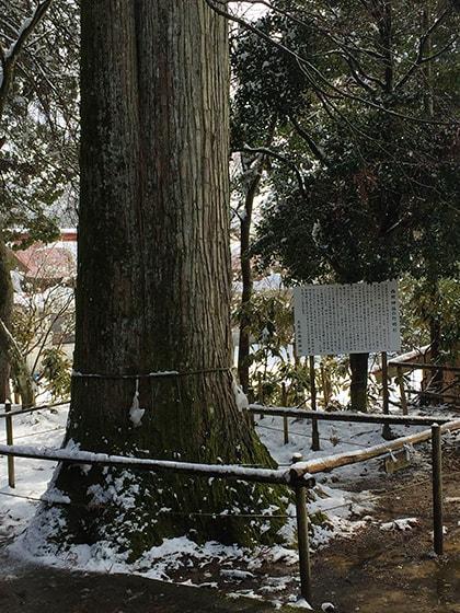 西照神社の灯明杉