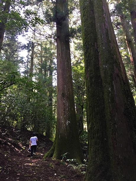 山の中の立派な杉