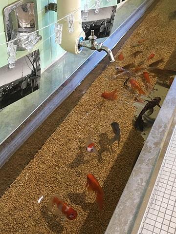 手洗い場は金魚水槽