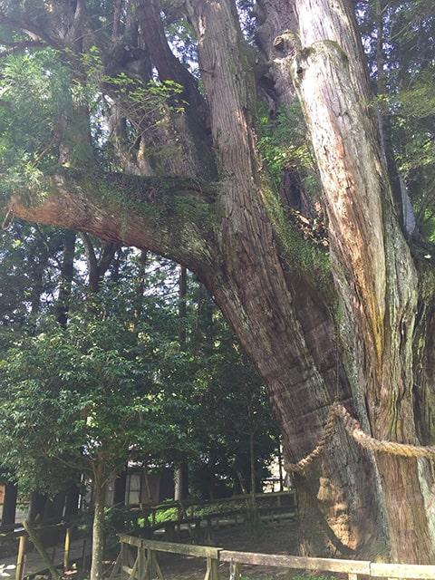 日本一の杉