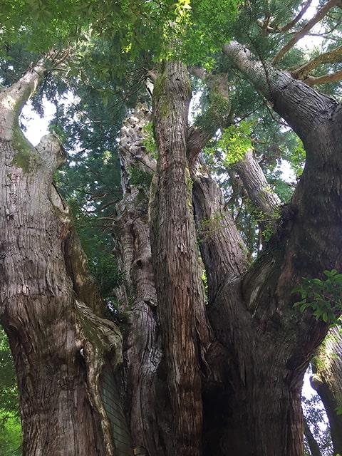 日本一大きい杉
