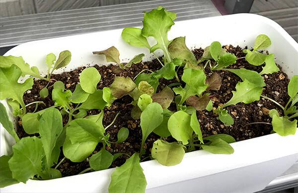 ガーデンレタスの生長過程